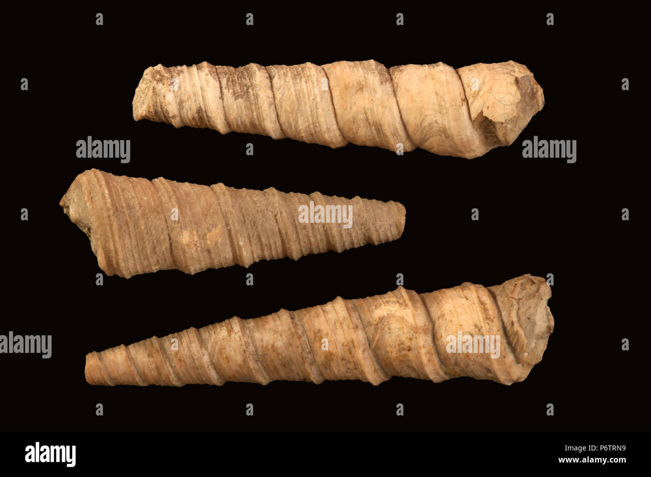 Seashells of Turritella figolina (fossil). Malacology collection. Spain. Europe - Stock Image