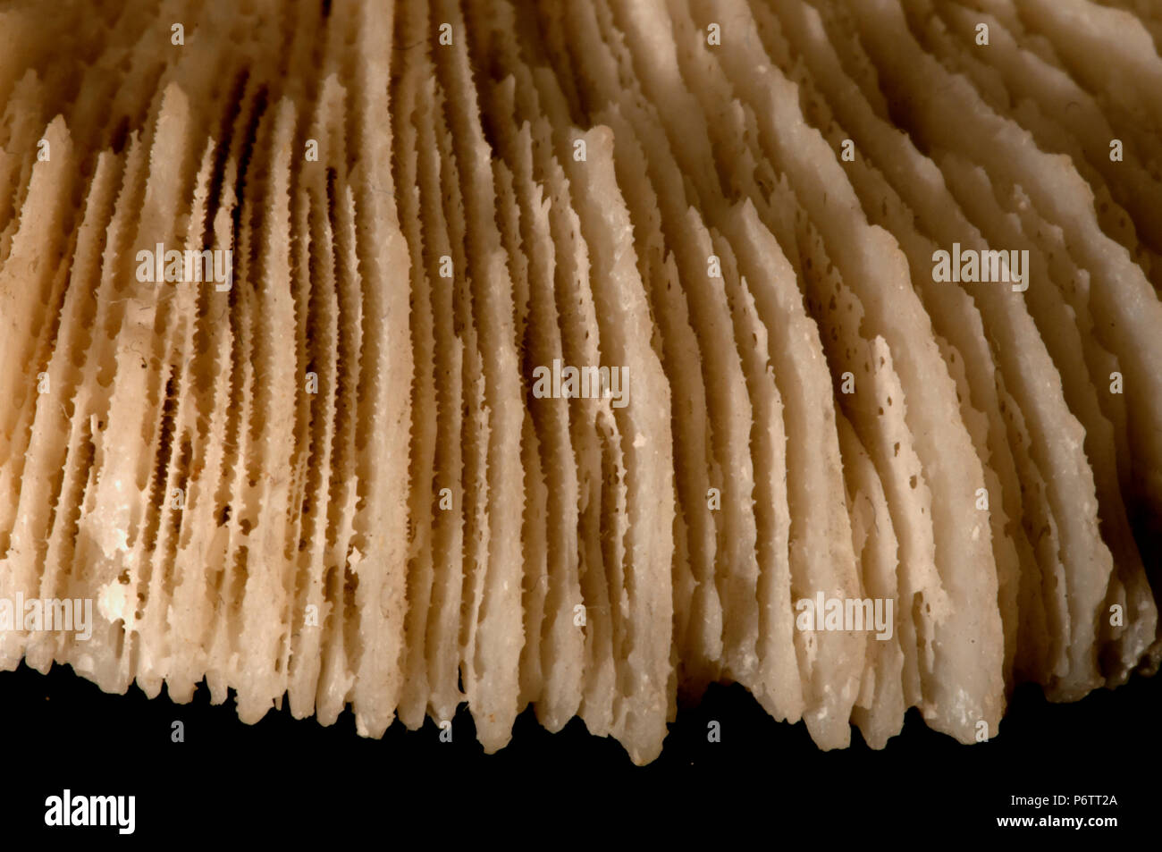 Pedal disc - detail of the Septum (calcified radial walls). Class Anthozoa, Phylum Cnidaria, Anemone, - Stock Image