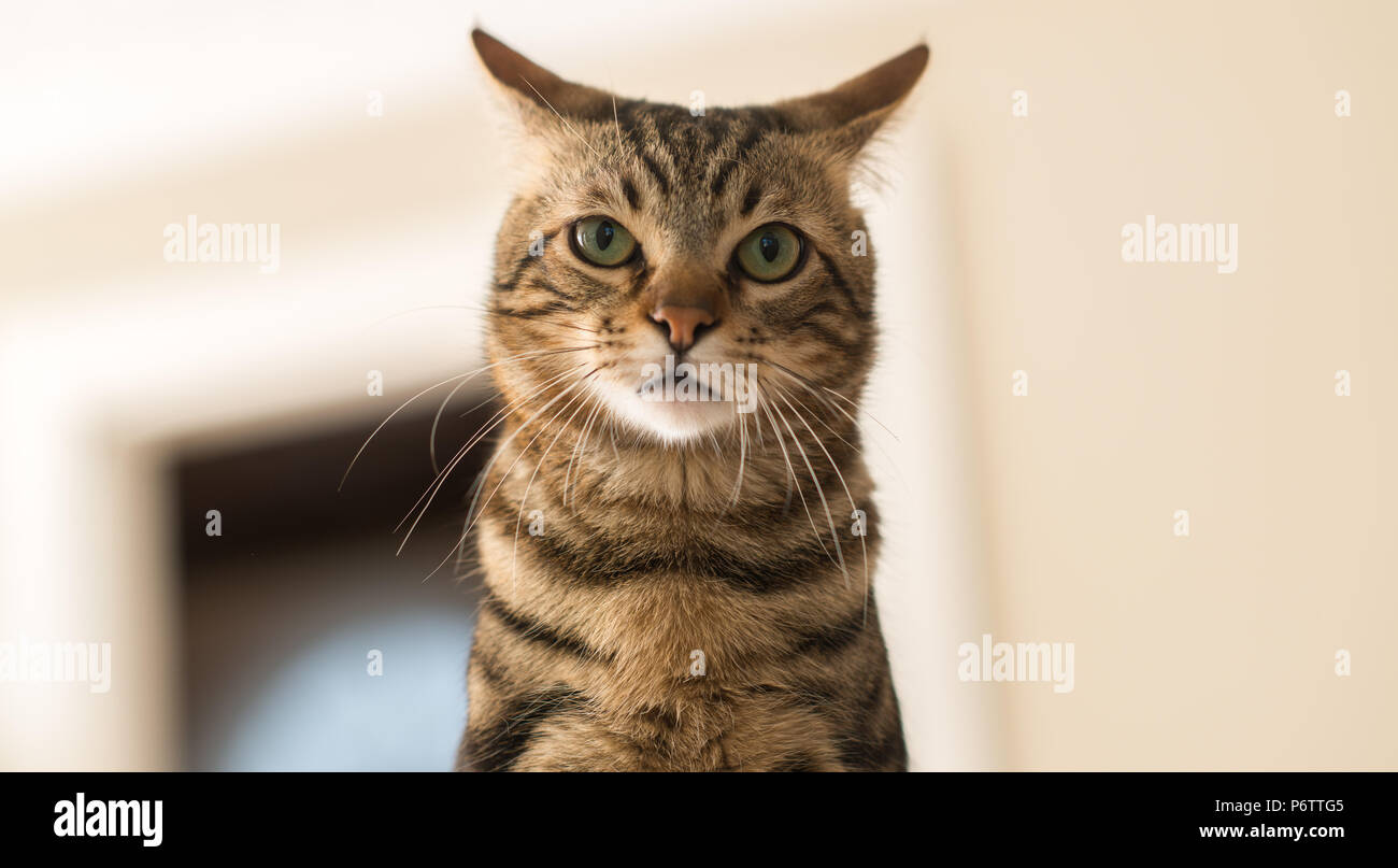 Beautiful feline cat at home. Domestic animal - Stock Image