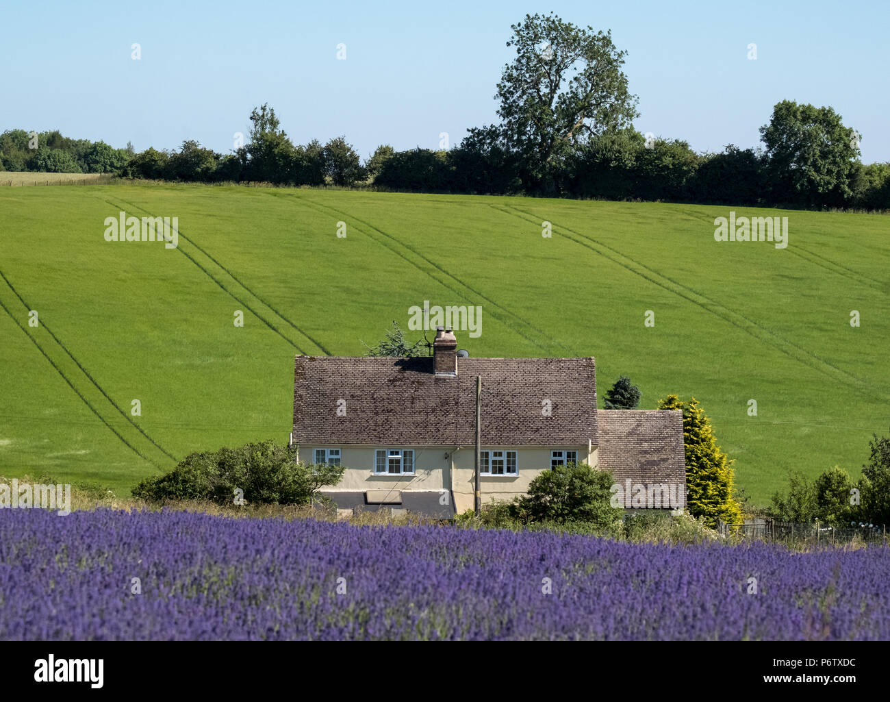 Rural Landscape With White House Overlooking Lavender Fields On A