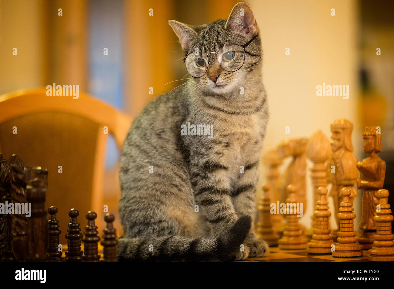 2a14fd47ebd Little cat wearing glasses sitting on chess board. Looking at chess pieces.  - Stock