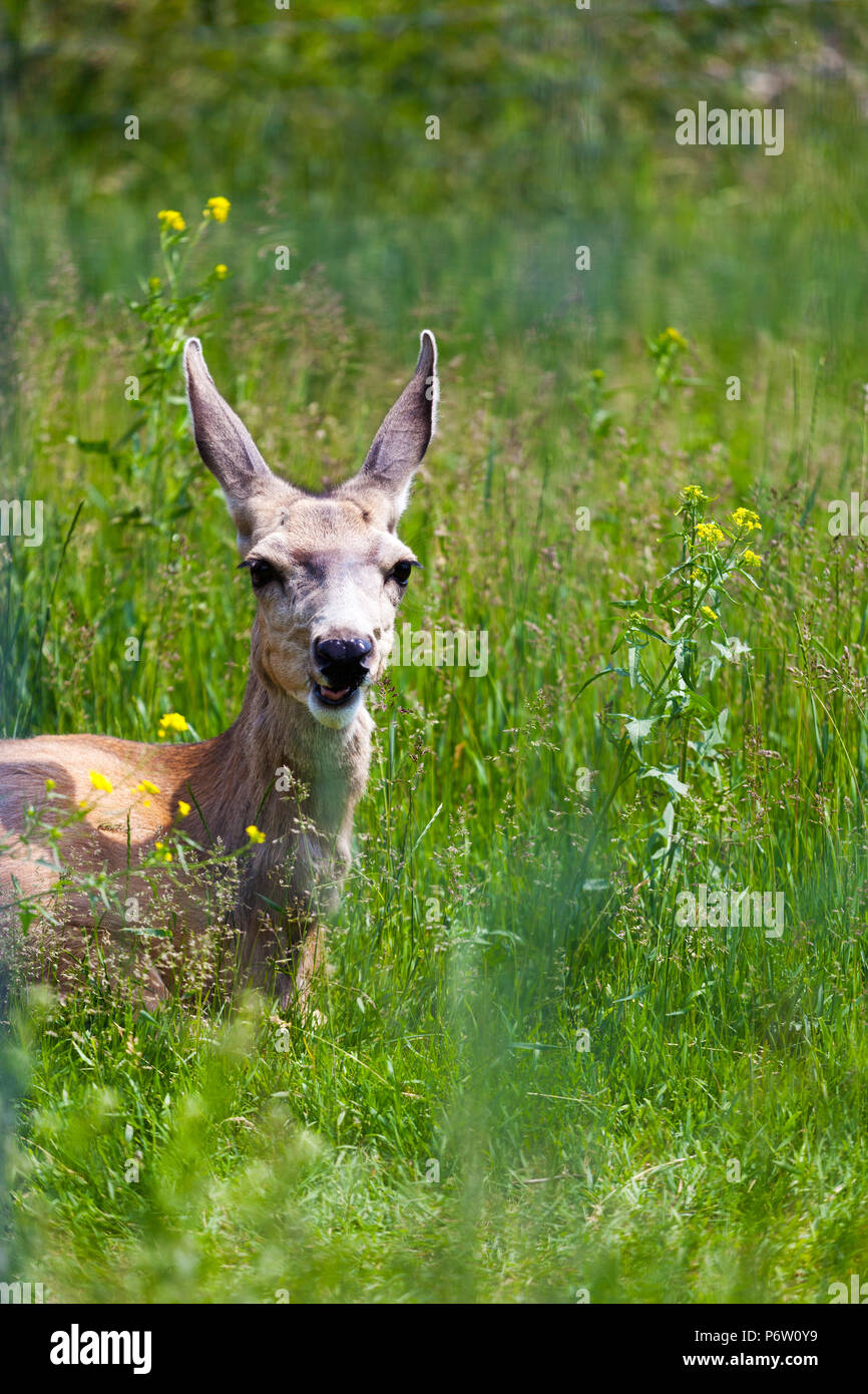 A young wide-eyed Mule Deer looks through the tall grasses in the Canadian Rockies. - Stock Image