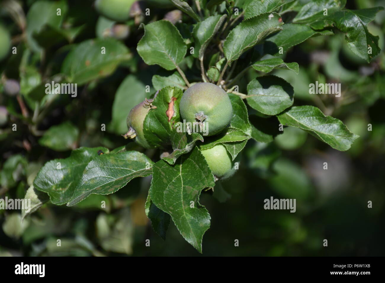 Äpfel auf einem Apfelbaum - Stock Image