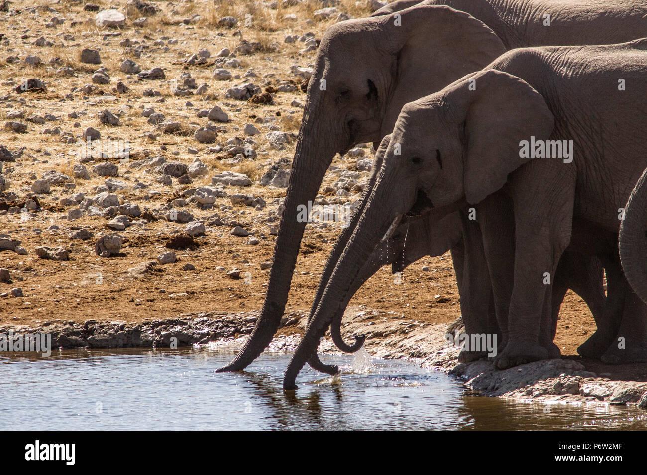 African Elephants - Loxodonta - with trunks extended drinking at an Etosha waterhole - Stock Image