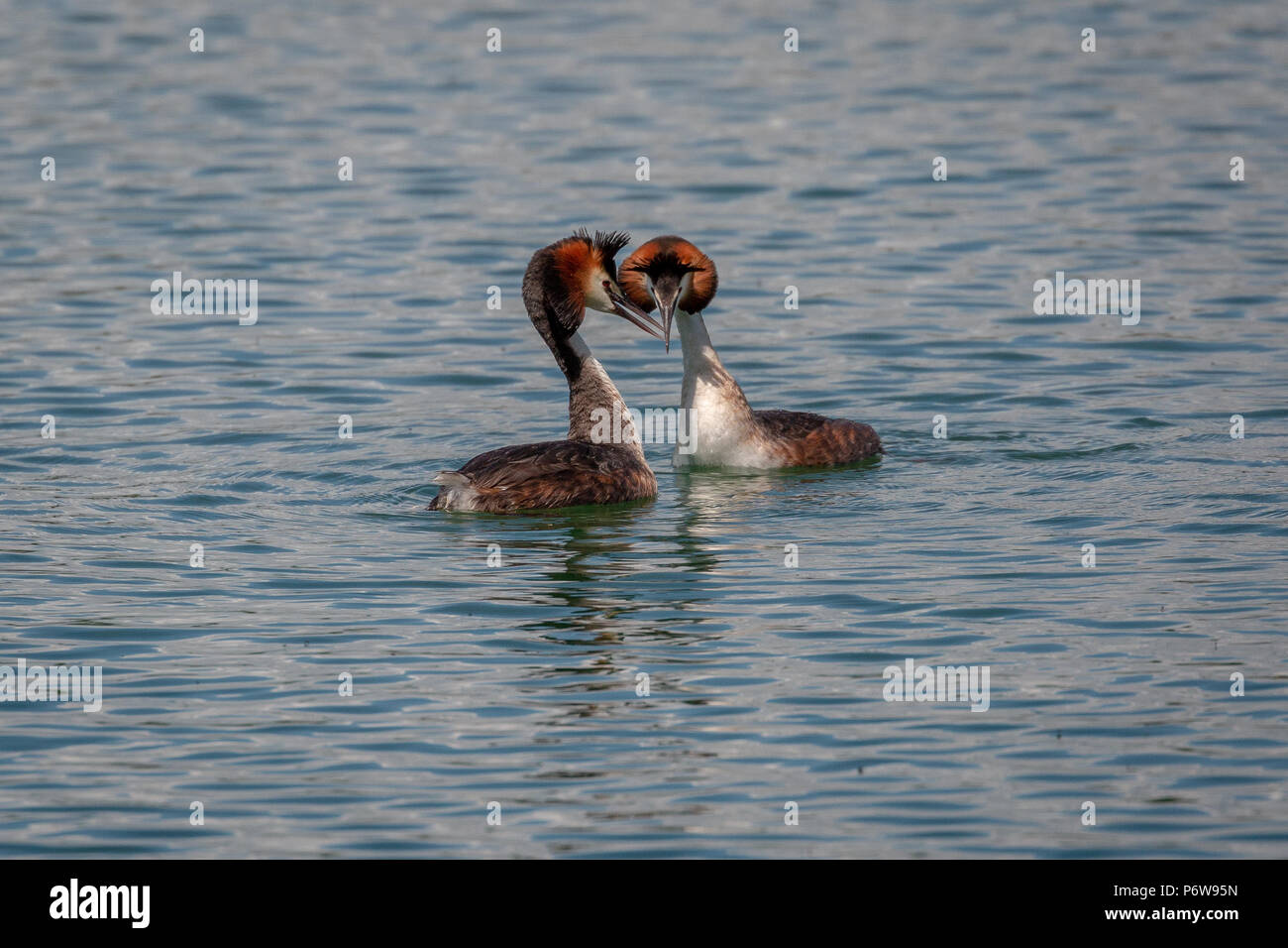 Pair of great crested grebes (Podiceps cristatus) during spring mating ritual - Stock Image