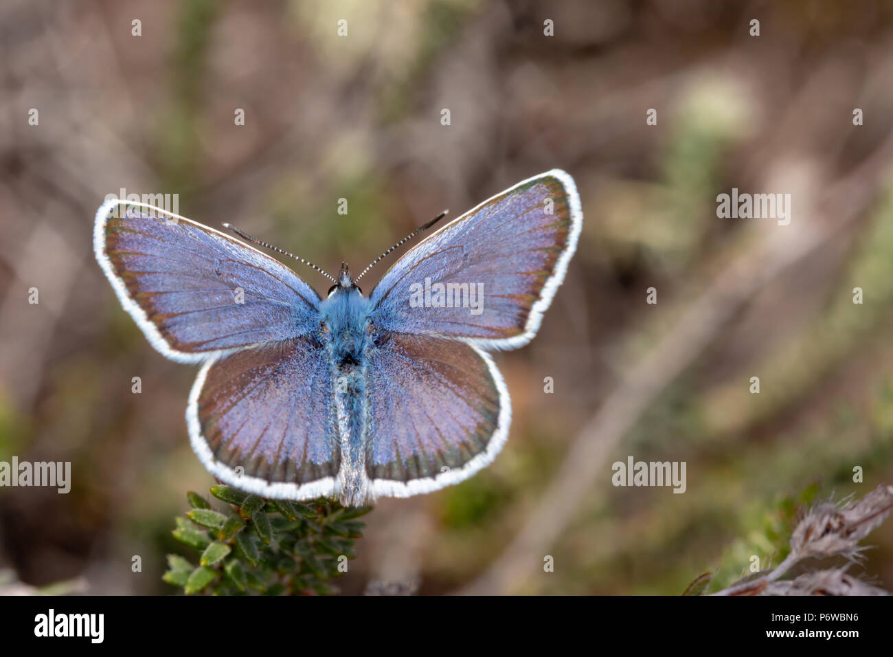 Close-up photo of Silver-studded blue butterfly with wings open and from above. shot with narrow depth of field on Canford heath nature reserve, Poole Stock Photo