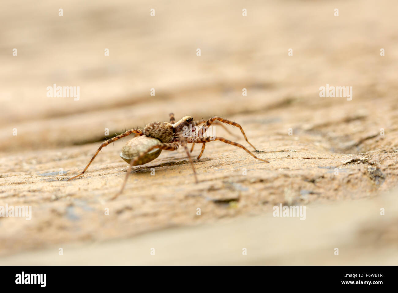 Macro photo of Spotted wolf spider with egg sac attached on spinnerets, taken with narrow depth of field. - Stock Image