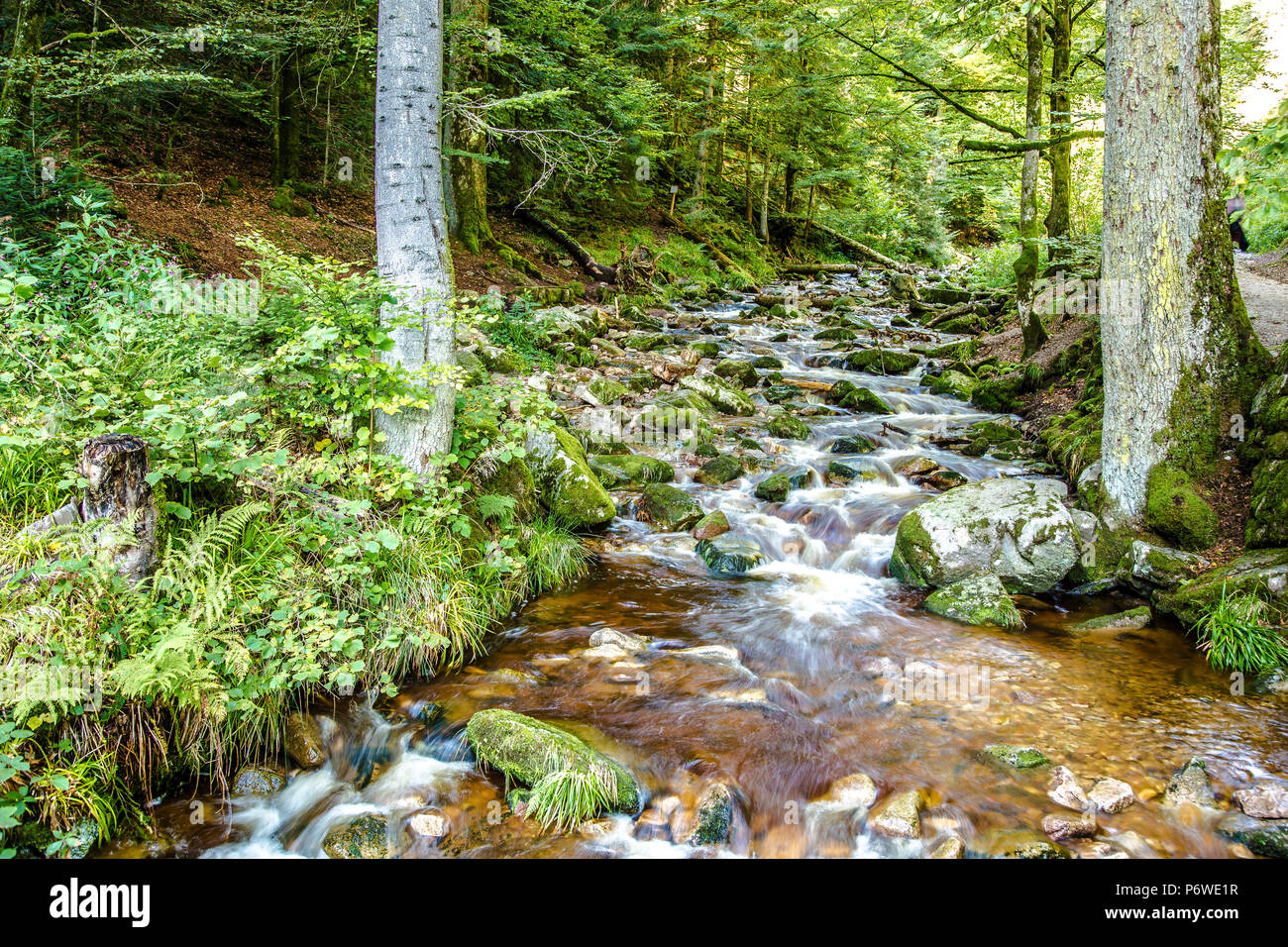 Rocky stream flowing through lush green woodland or forest in an alpine creek in a low angle view of the flowing water Stock Photo