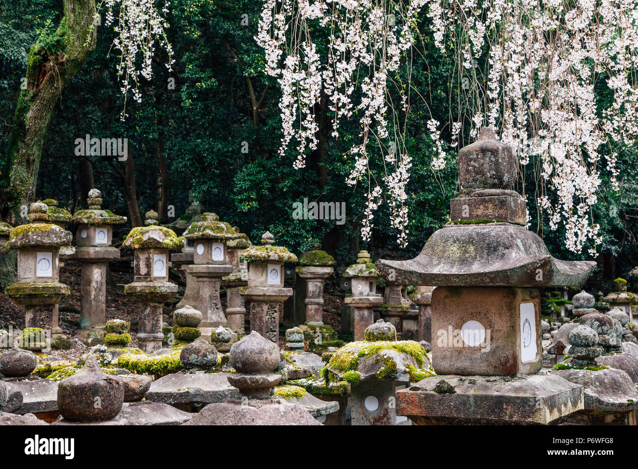 Japanese traditional stone lanterns with cherry blossoms in Nara, Japan - Stock Image