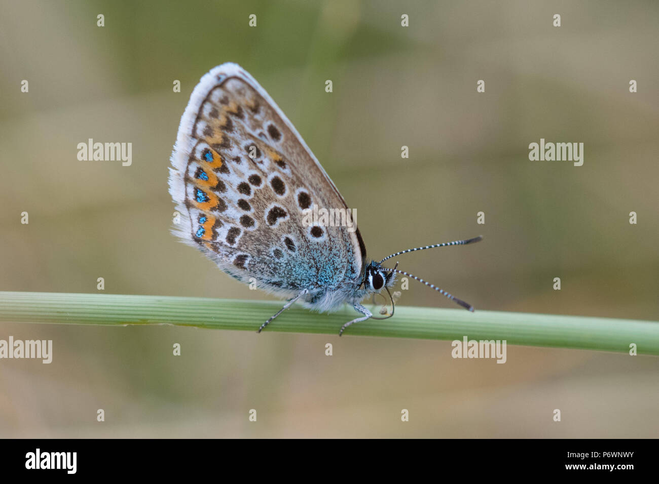 Mexico Towans, Hayle, Cornwall, UK. 3rd July 2018. UK Weather. The heatwave continues in Cornwall, with the rare Silver studded blue butterflies out on the sand dunes near Hayle. Credit: Simon Maycock/Alamy Live News - Stock Image