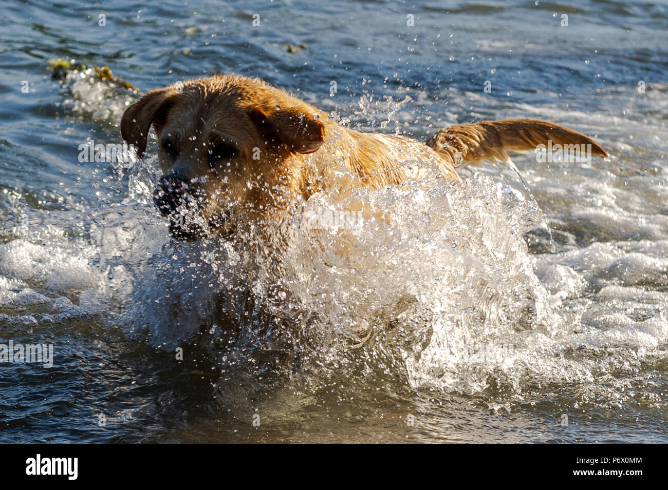 Schull, West Cork, Ireland . 3rd July, 2018. Lucy, the 7 year old Golden Labrador, plays in the sea this evening. The heatwave shows no sign of ending with temperatures forecast to be in the high 20°'s Celsius for at least a week. Credit: Andy Gibson/Alamy Live News. - Stock Image
