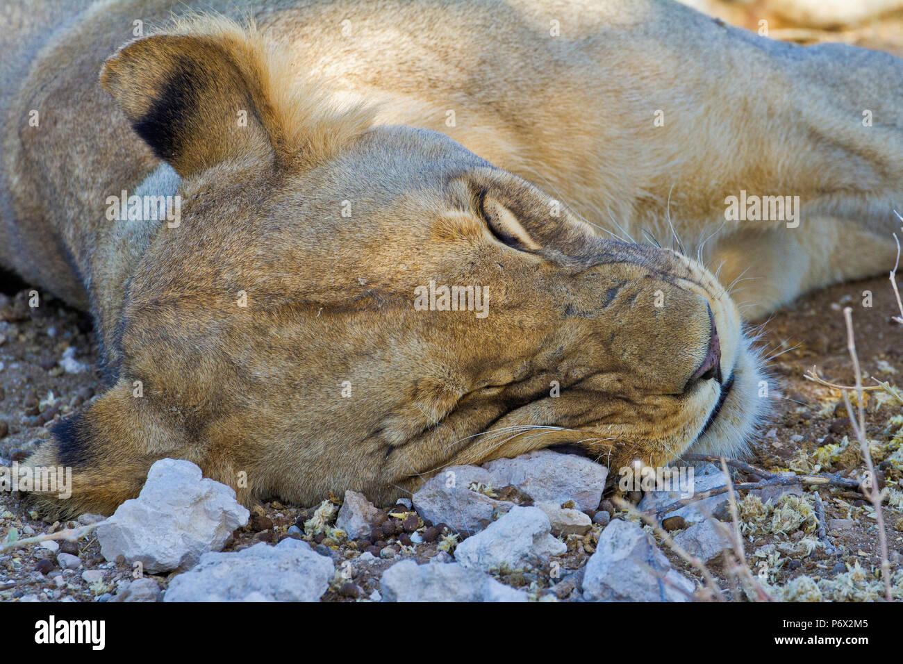 Head shot of sleeping Lion - Panthera leo - in Etosha, Namibia - Stock Image