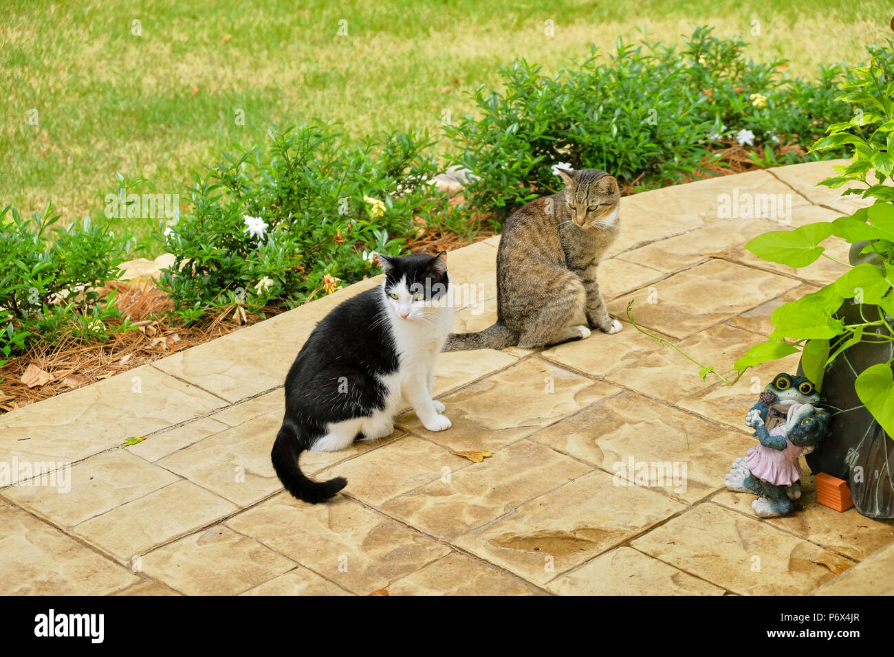 Grey tiger stripe domestic short hair tabby cat and a black and white tuxedo cat outdoors standing on a garden patio. Stock Photo
