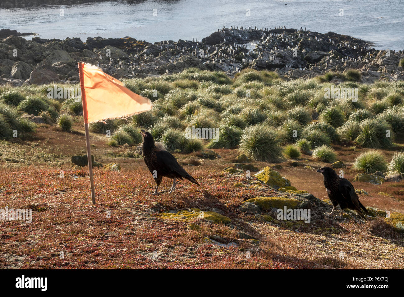 Striated caracara trying to steal flag marker at Steeple Jason Island, Falkland Islands Stock Photo