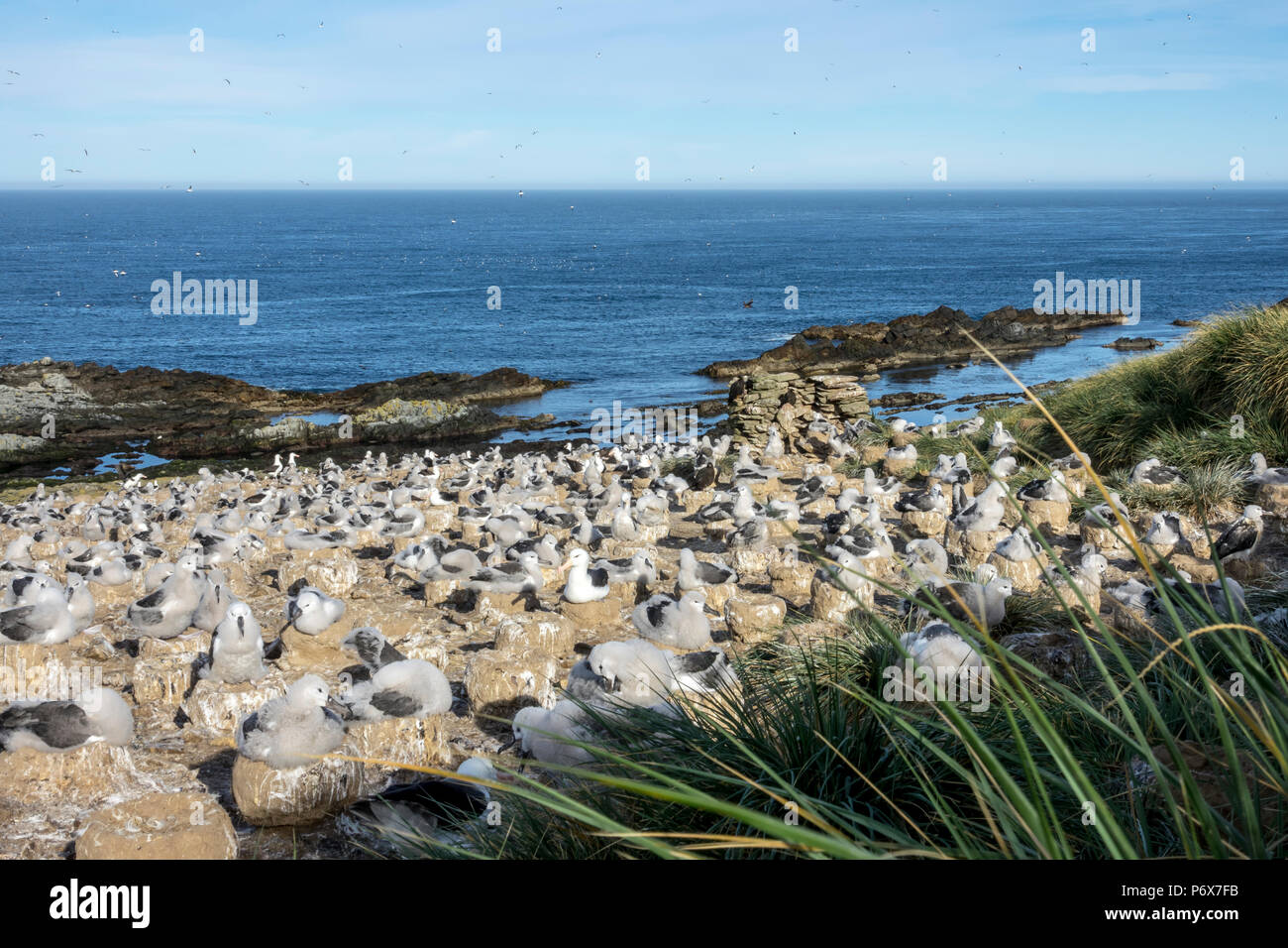 View over the black-browed albatross colony at Steeple Jason Island, Falkland Islands' Stock Photo