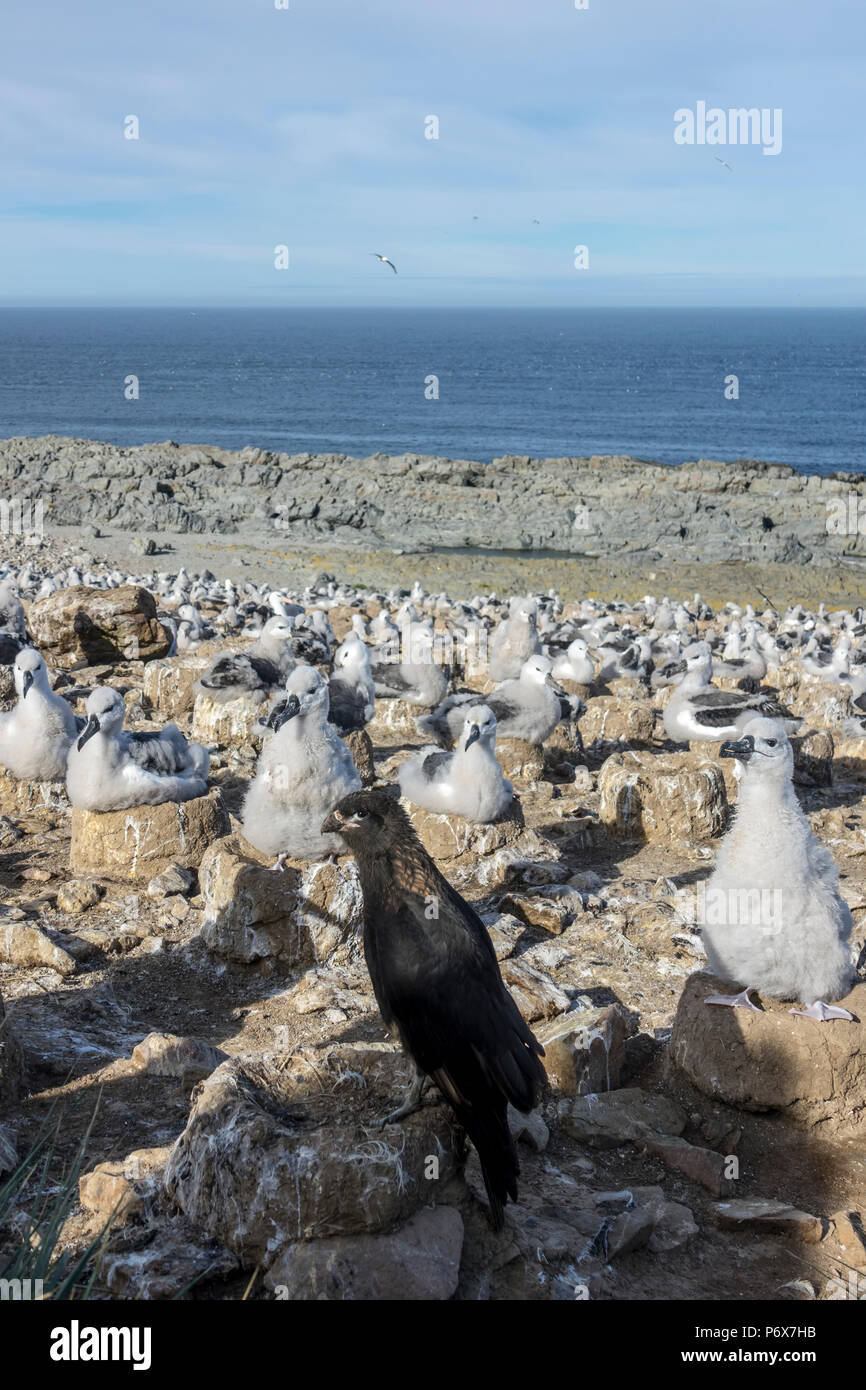 View over the black-browed albatross colony at Steeple Jason Island, with a watchful striated caracara in the foreground, Falkland Islands' Stock Photo
