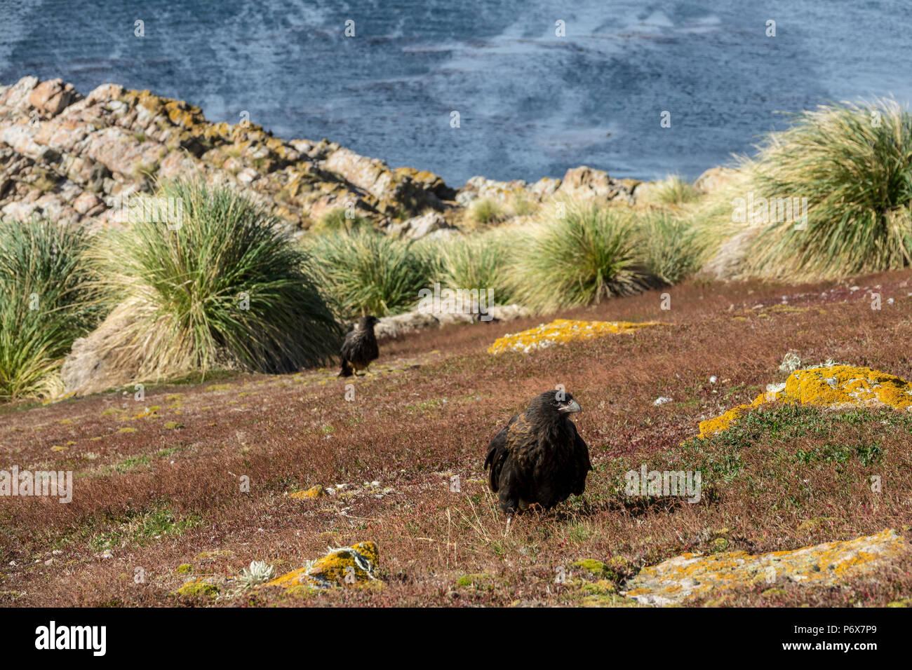 Striated caracaras, Falkland Islands Stock Photo