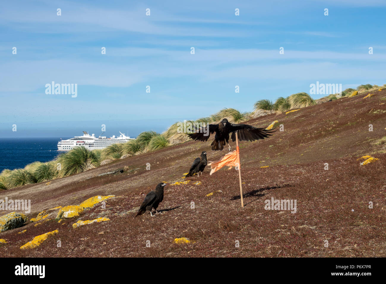 Striated caracaras trying to steal flag trail marker, Steeple Jason Island, Falkland Islands Stock Photo