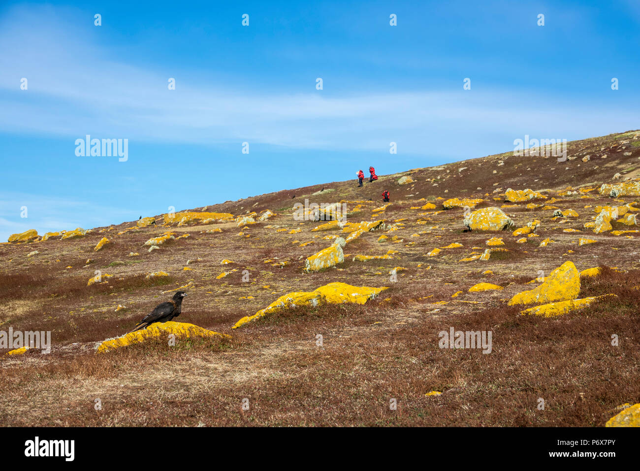 Striated caracara, with expedition cruise ship passengers in the background, Steeple Jason Island,  Falkland Islands Stock Photo