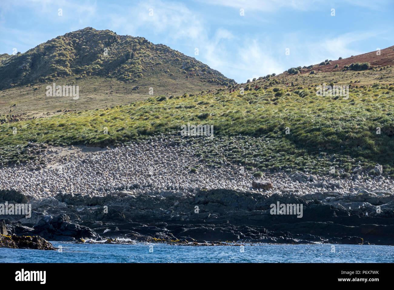 View of the massive black-browed albatross colony at Steeple Jason Island, Falkland Islands Stock Photo