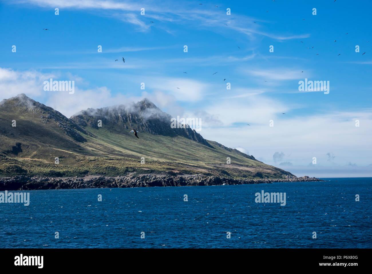 A flock of black-browed albatross flying near the colony at Steeple Jason Island, Falkland Islands Stock Photo