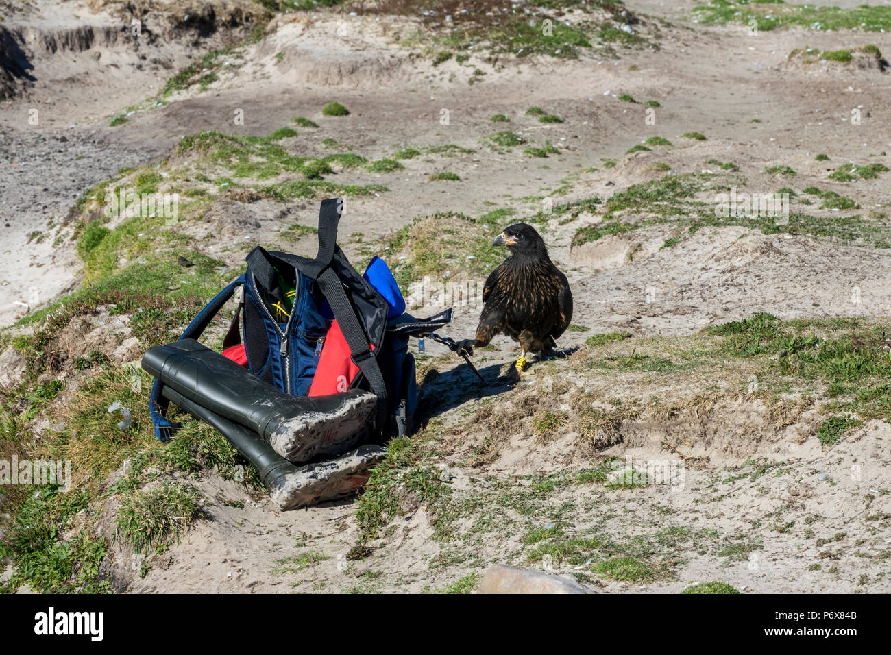 Striated caracara trying to steal a backpack, Grave Cove, West Falkland, Falkland Islands Stock Photo