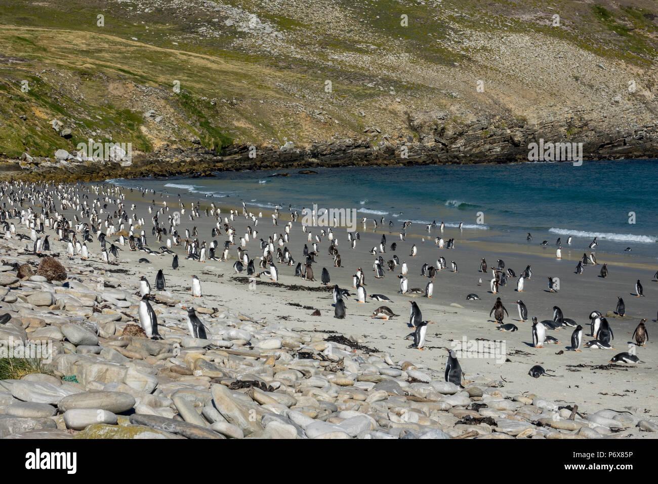Gentoo penguin colony at Grave Cove, West Falkland, Falkland Islands Stock Photo