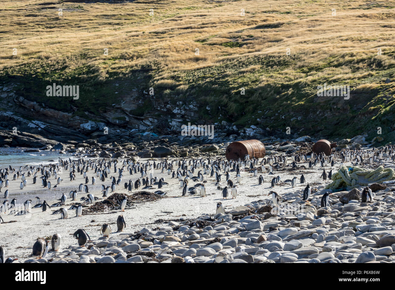 Gentoo penguin colony at Grave Cove, West Falkland, Falkland Islands Stock Photo