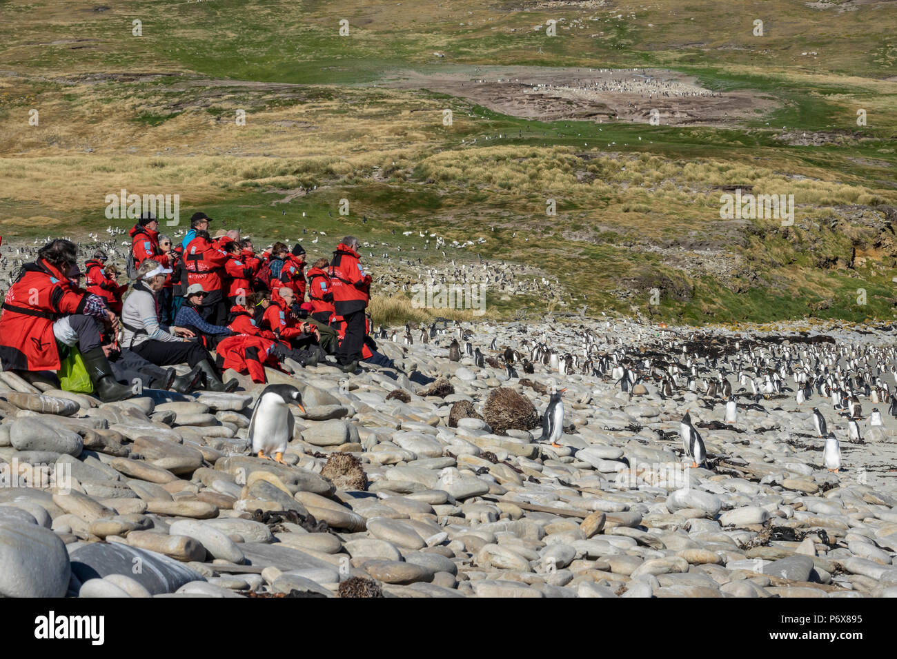 Expedition cruise ship passengers at gentoo penguin colony at Grave Cove, West Falkland, Falkland Islands Stock Photo