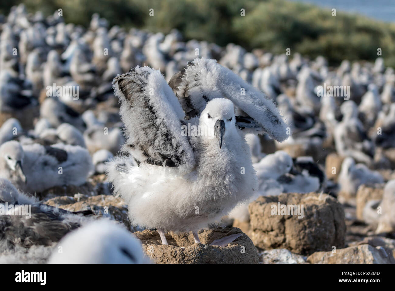Black-browed albatross chick on nest stretching its wings at Steeple Jason Island, Falkland Islands Stock Photo