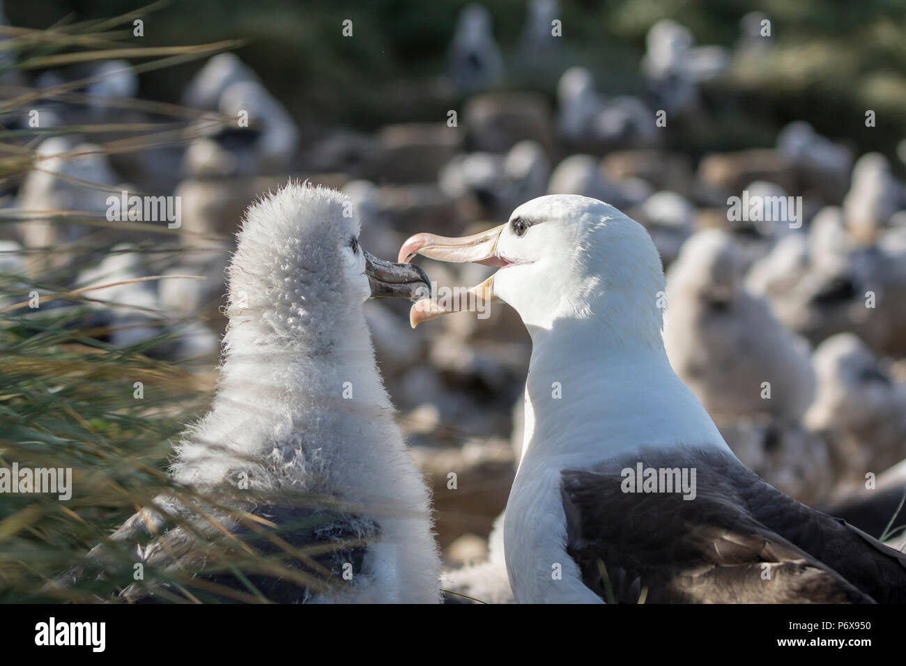 Adult black-browed albatross regurgitating food to feed large fluffy chick on nest at Steeple Jason Island, Falkland Islands Stock Photo