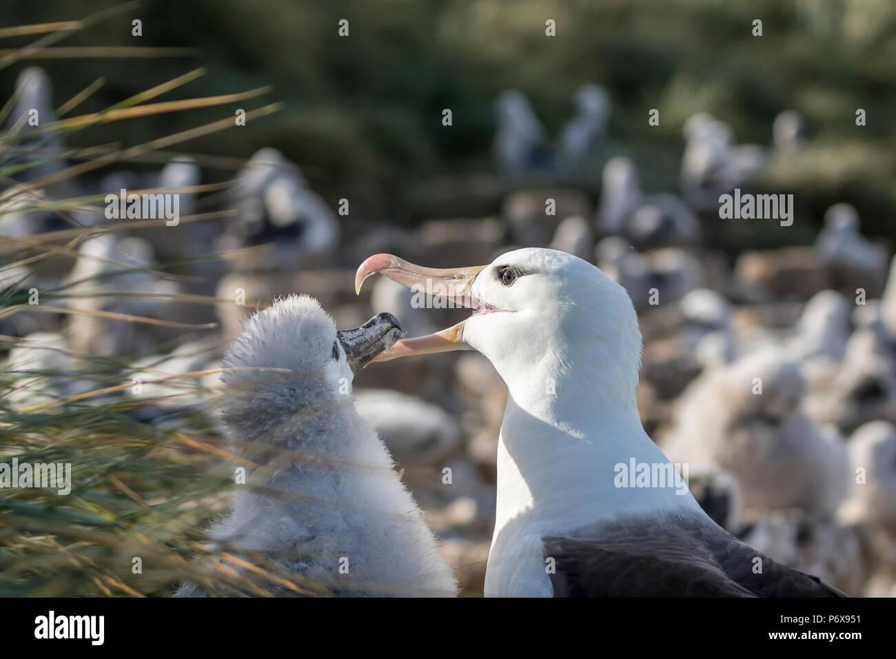 Adult black-browed albatross regurgitating food to feed large fluffy chick on nest at Steeple Jason Island, Falkland Islands Stock Photo