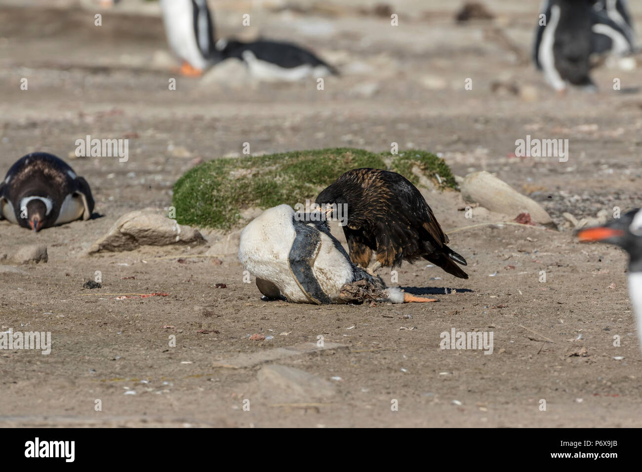 Striated carcara feeding on the remains of a gentoo pengion at the gentoo penguin colony at Grave Cove, West Falkland, Falkland Islands Stock Photo