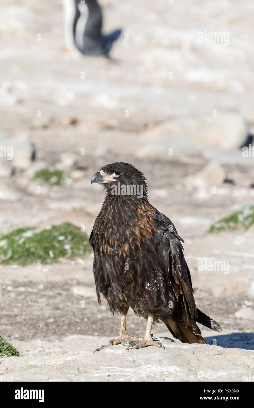 Striated caracara at the gentoo penguin colony at Grave Cove, West Falkland, Falkland Islands Stock Photo