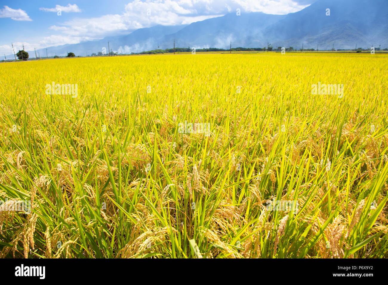 closeup beautiful yellow rice field - Stock Image