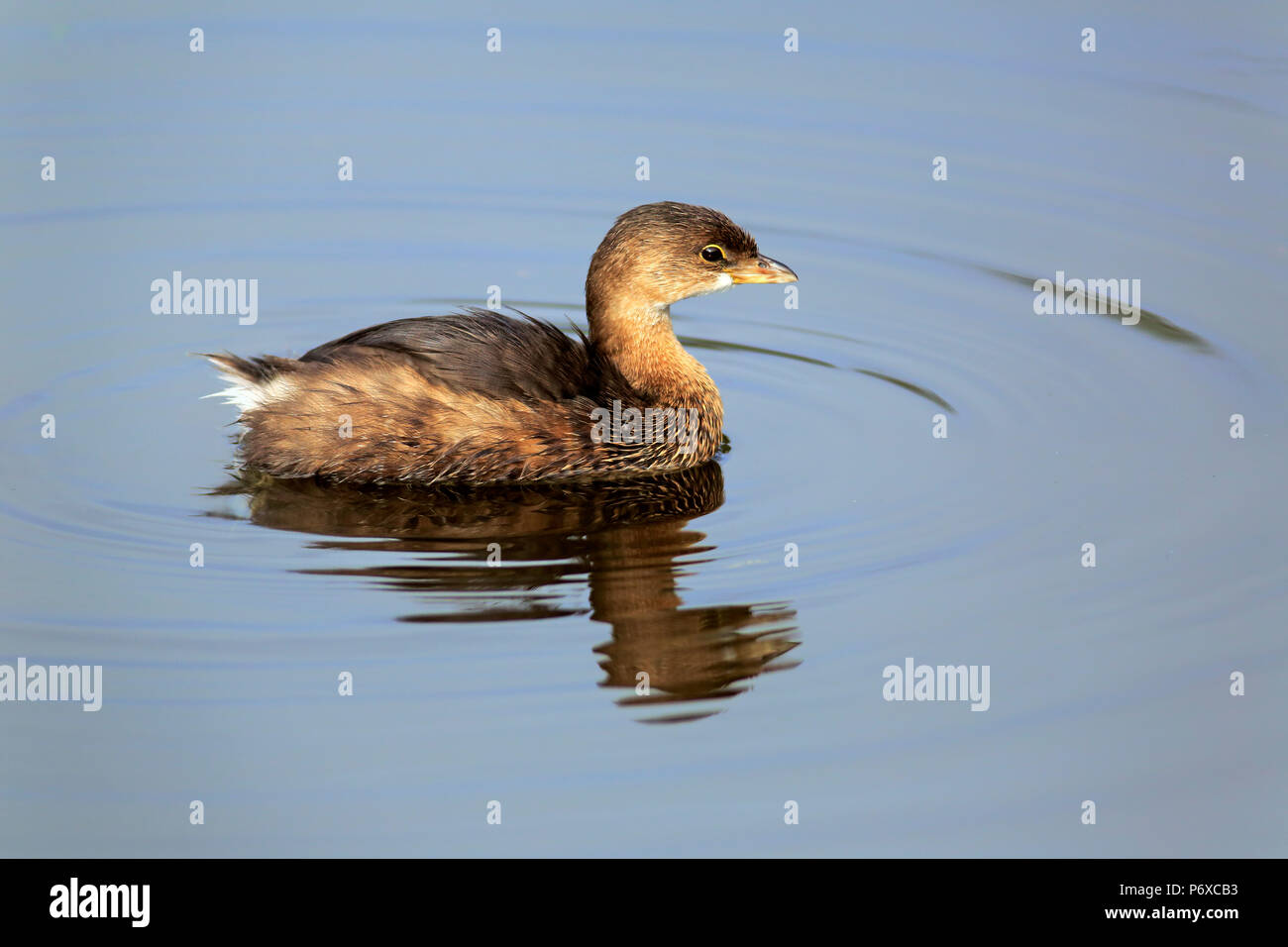 Pied-billed Grebe, adult swimming in water, Wakodahatchee Wetlands, Delray Beach, Florida, USA, Podilymbus podiceps - Stock Image