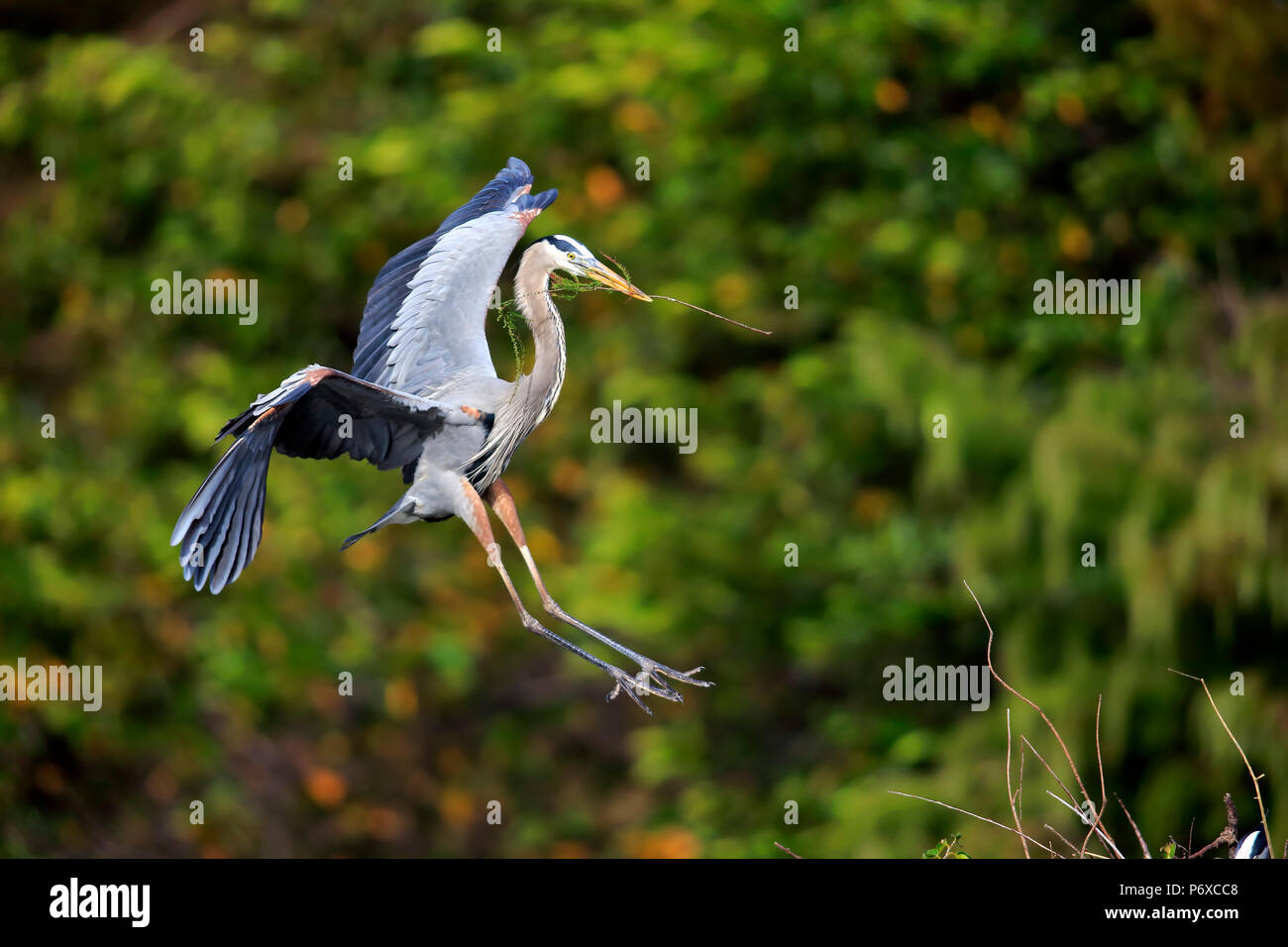 Great Blue Heron, adult flying with nesting material, Wakodahatchee Wetlands, Delray Beach, Florida, USA, Ardea herodias - Stock Image