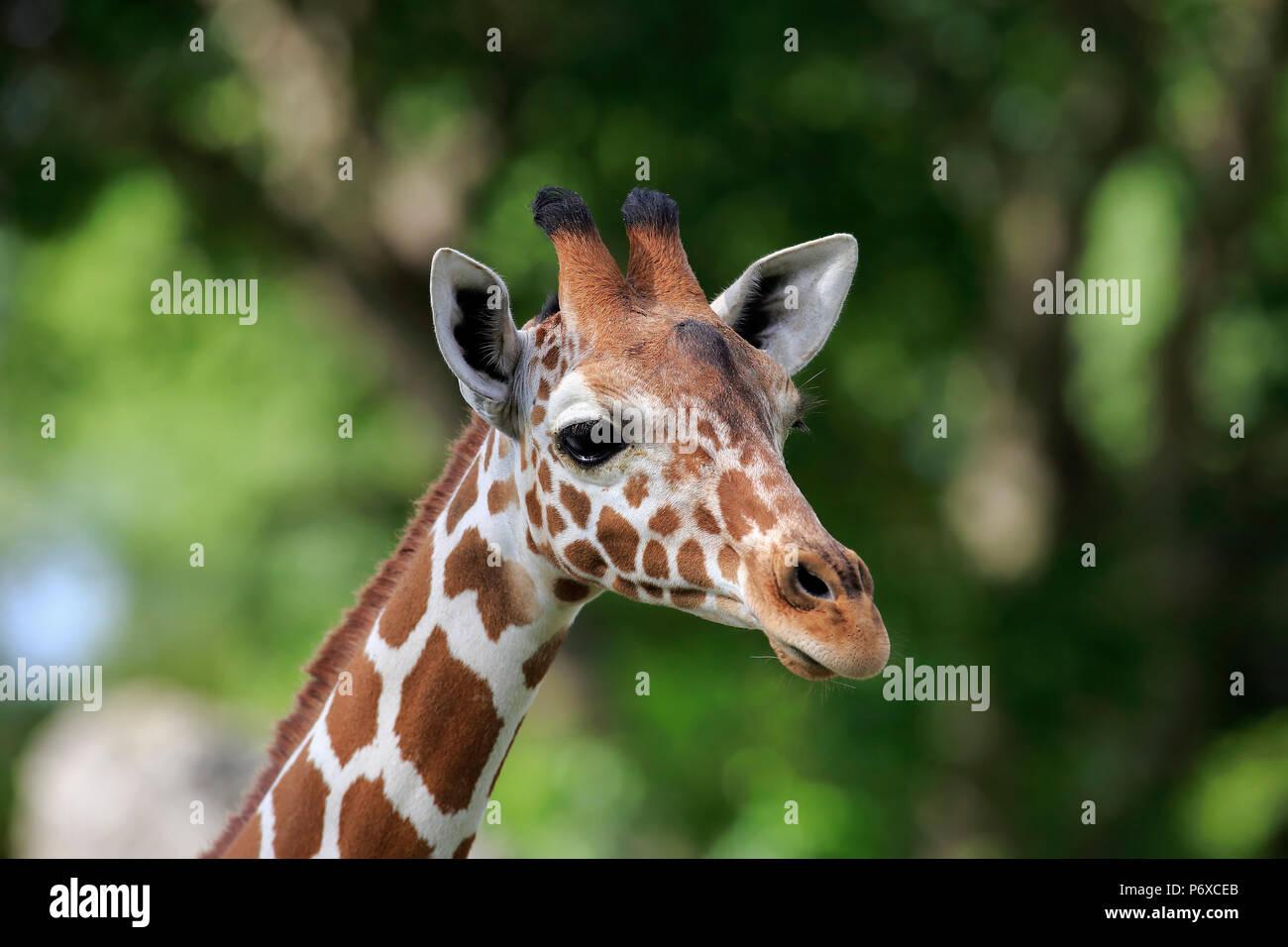 Reticulated Giraffe, adult portrait, Africa, Giraffa camelopardalis reticulata - Stock Image