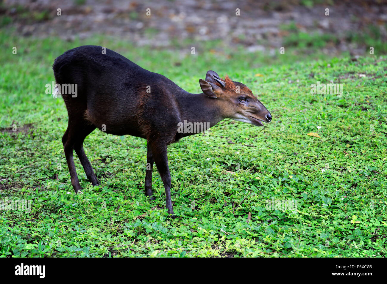 Black Duiker, adult male, Africa, Cephalophus niger - Stock Image