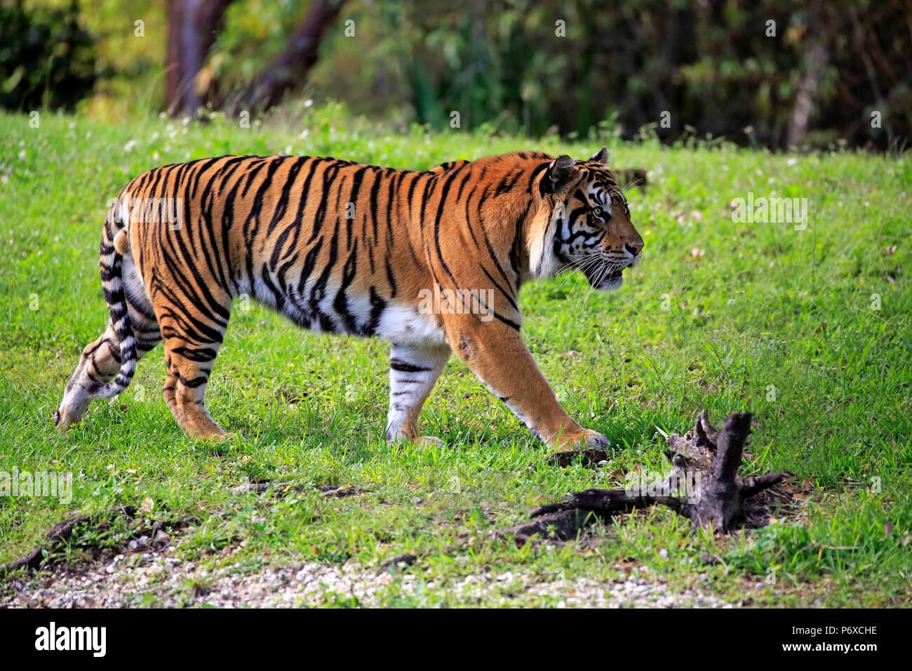 Sumatran Tiger, adult male walking, Sumatra, Asia, Panthera tigris sumatrae - Stock Image