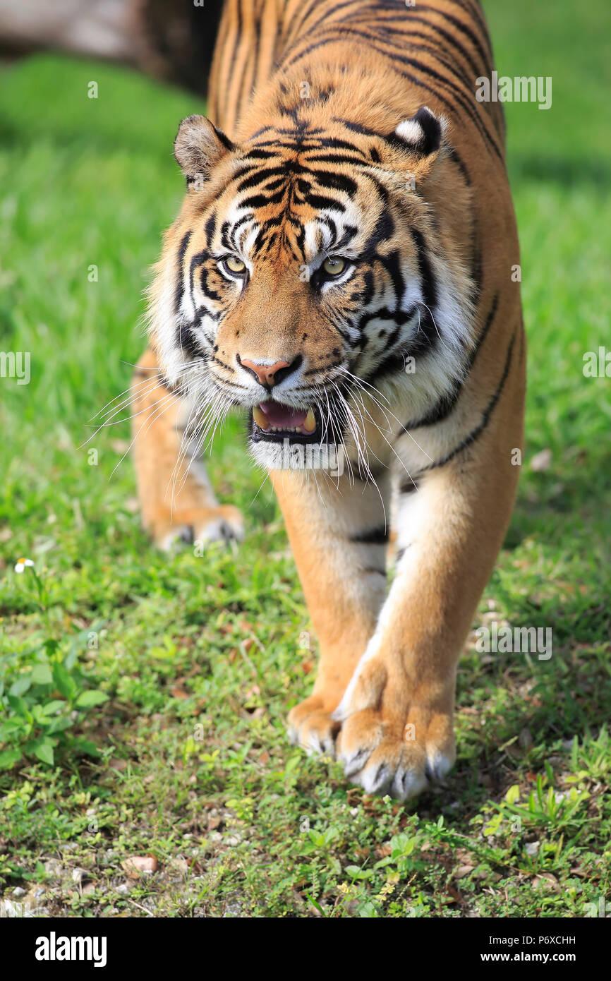 Sumatran Tiger, adult male walking portrait, Sumatra, Asia, Panthera tigris sumatrae Stock Photo
