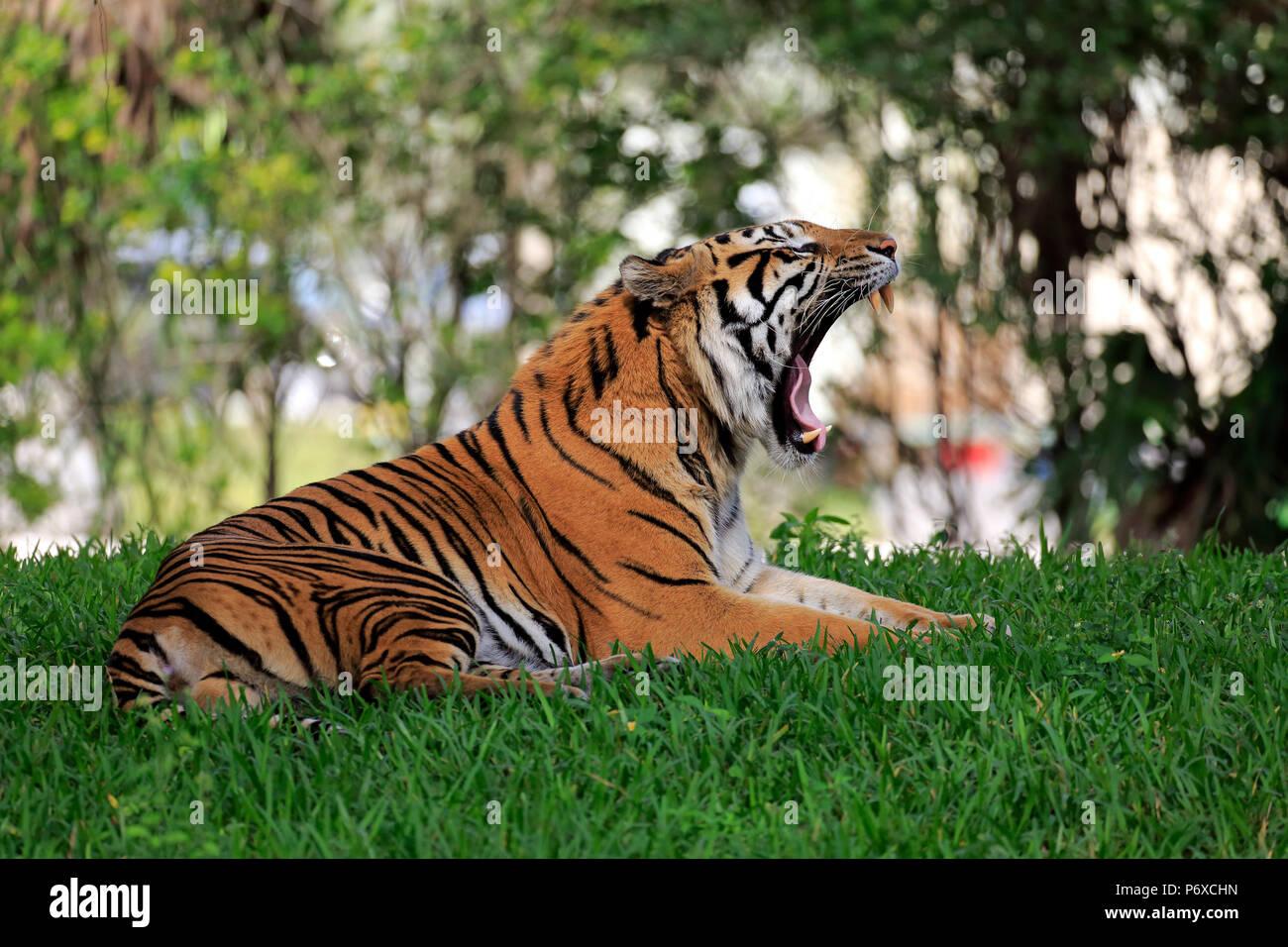 Sumatran Tiger, adult male jawning, Sumatra, Asia, Panthera tigris sumatrae - Stock Image