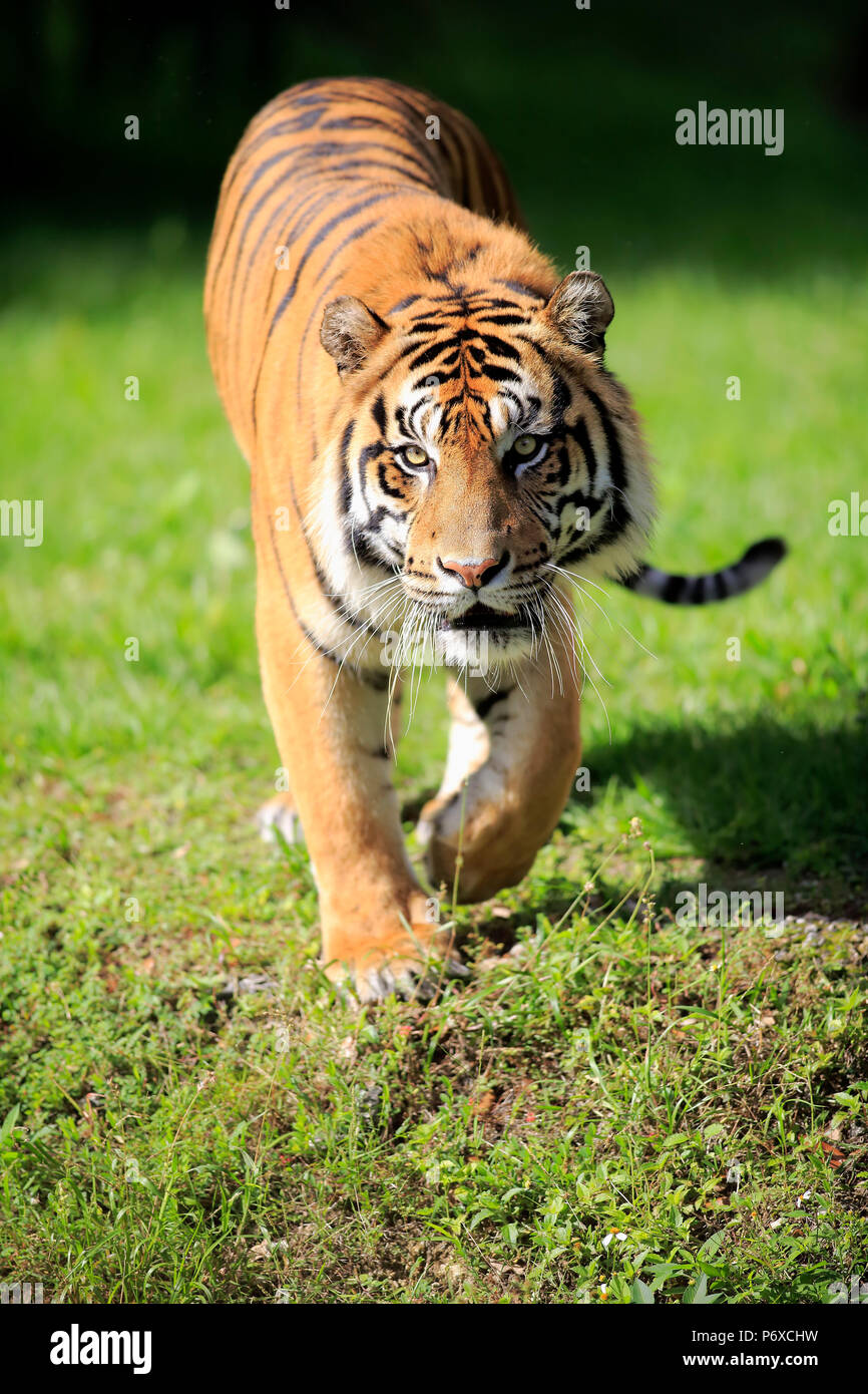 Sumatran Tiger, adult male walking, Sumatra, Asia, Panthera tigris sumatrae - Stock Image