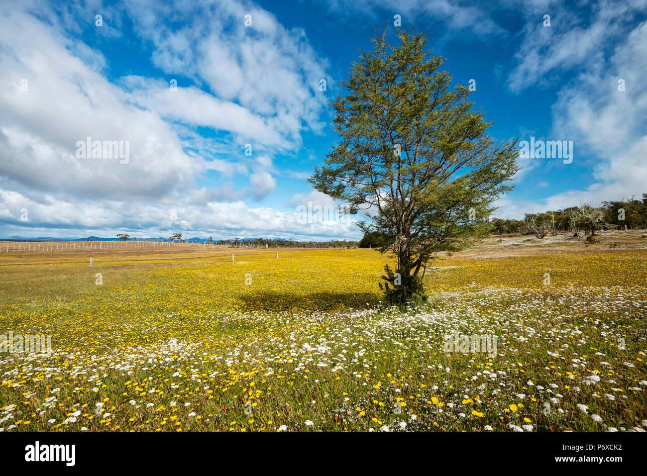 South America, Patagonia, Chile, Magallanes y la Antartica, Tierra del Fuego, bloom Stock Photo
