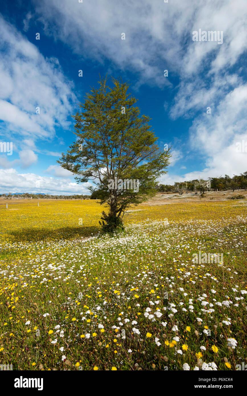 South America, Patagonia, Chile, Magallanes y la Antartica, Tierra del Fuego, tree in flower meadow Stock Photo