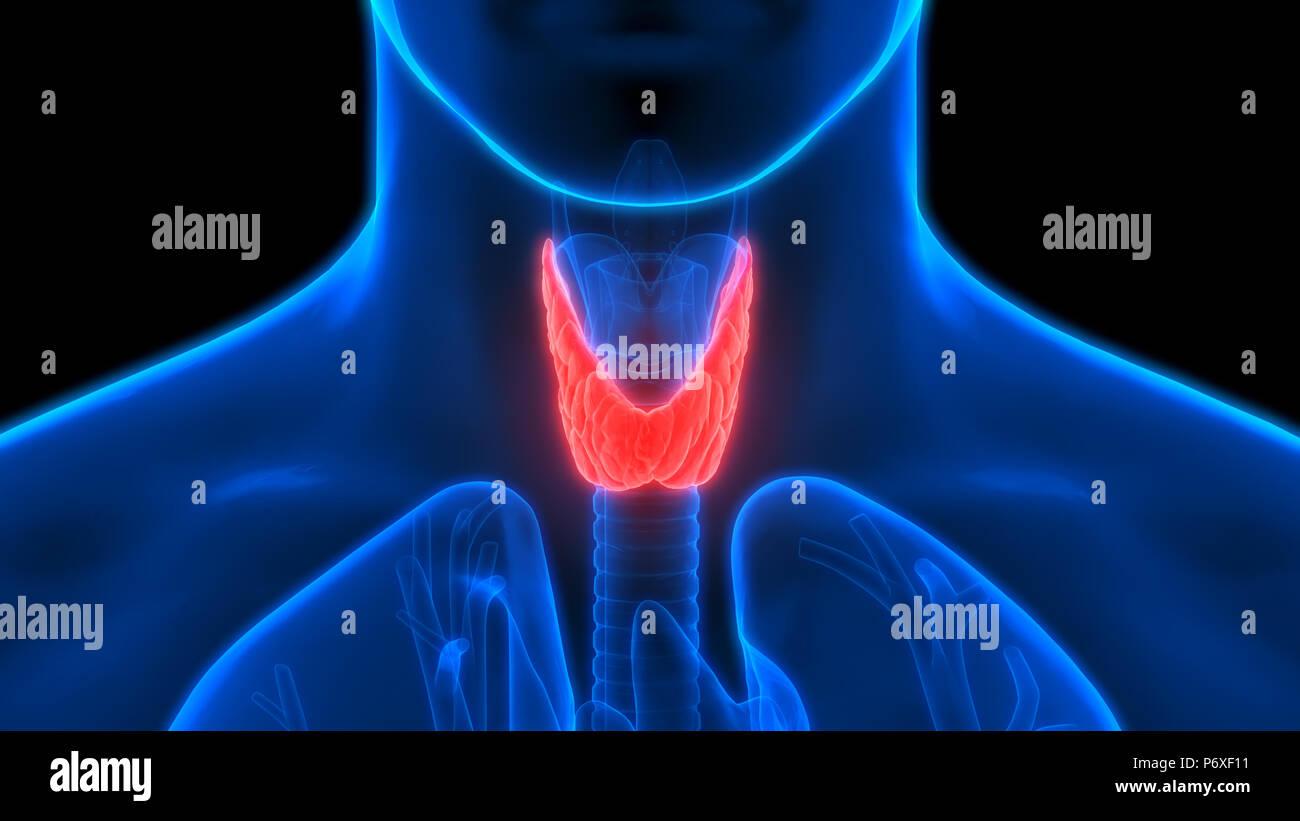 Human Body Glands Thyroid Gland Anatomy Stock Photo 210794893 Alamy