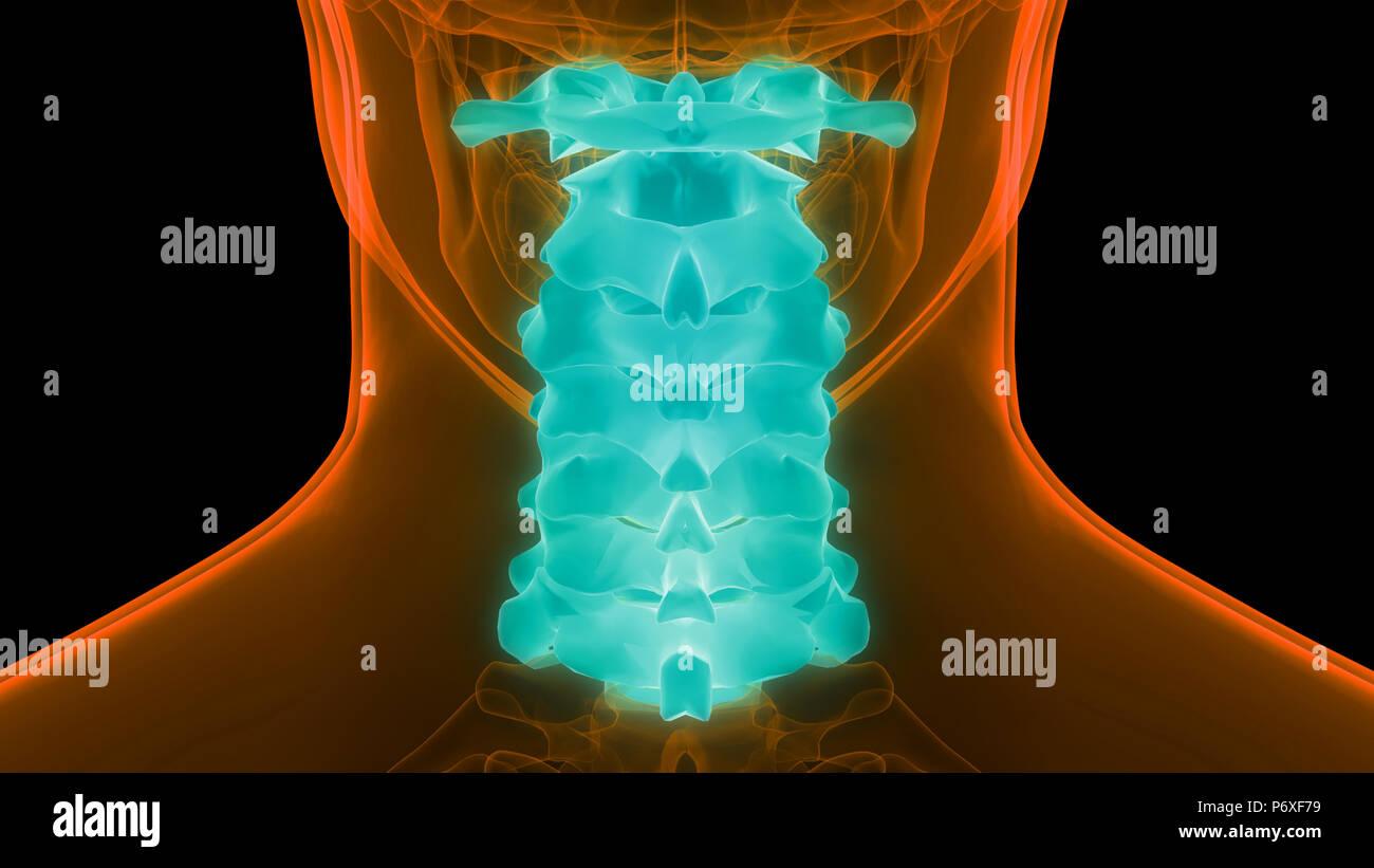 Human Skeleton System Vertebral Column Cervical Vertebrae Anatomy - Stock Image
