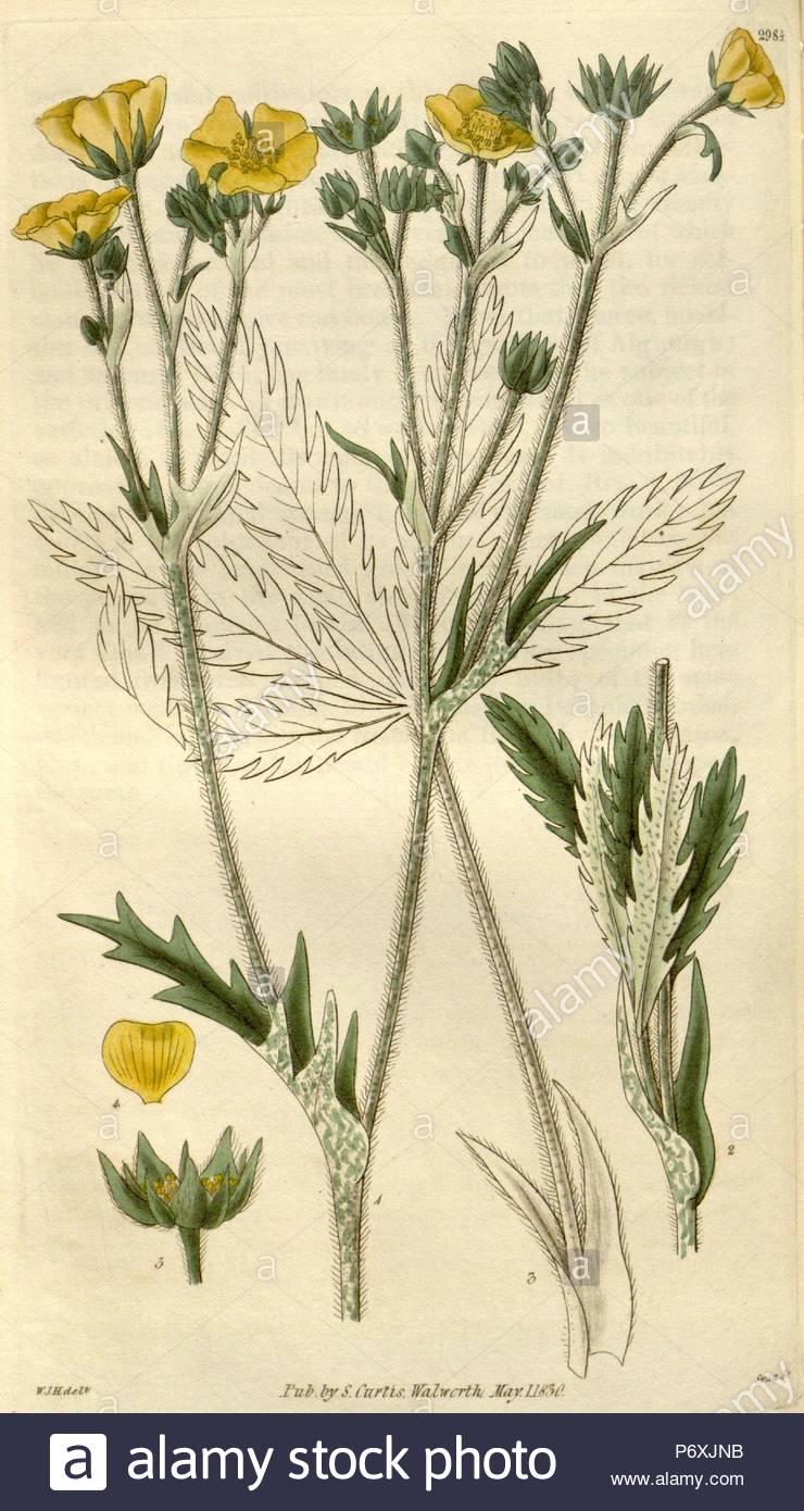 Merveilleux Botanical Print By Sir William Jackson Hooker, FRS, 1785 U2013 1865, English  Botanical Illustrator. He Held The Post Of Regius Professor Of Botany At  Glasgow ...