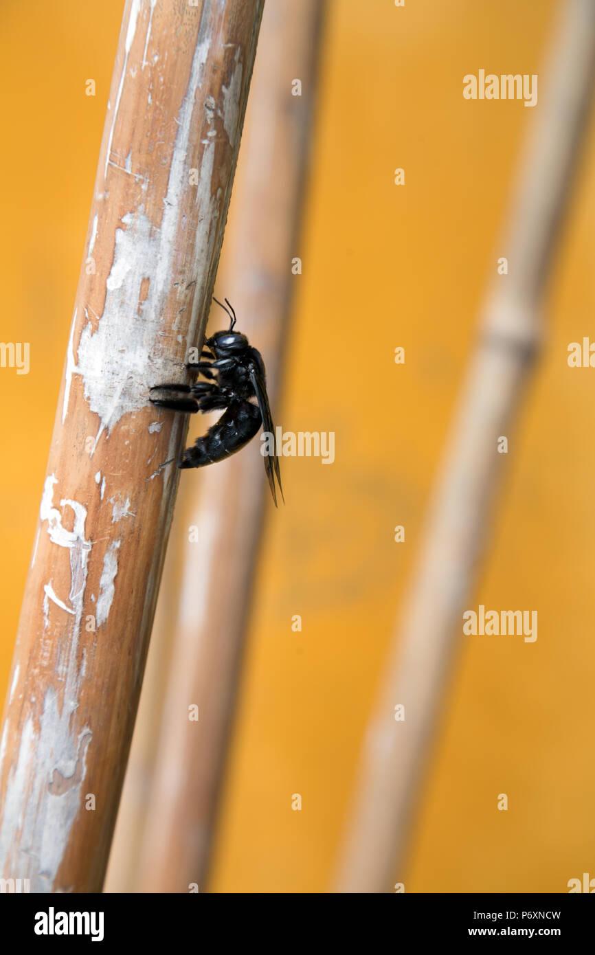 Black bee in Hoi An , Vietnam - Stock Image
