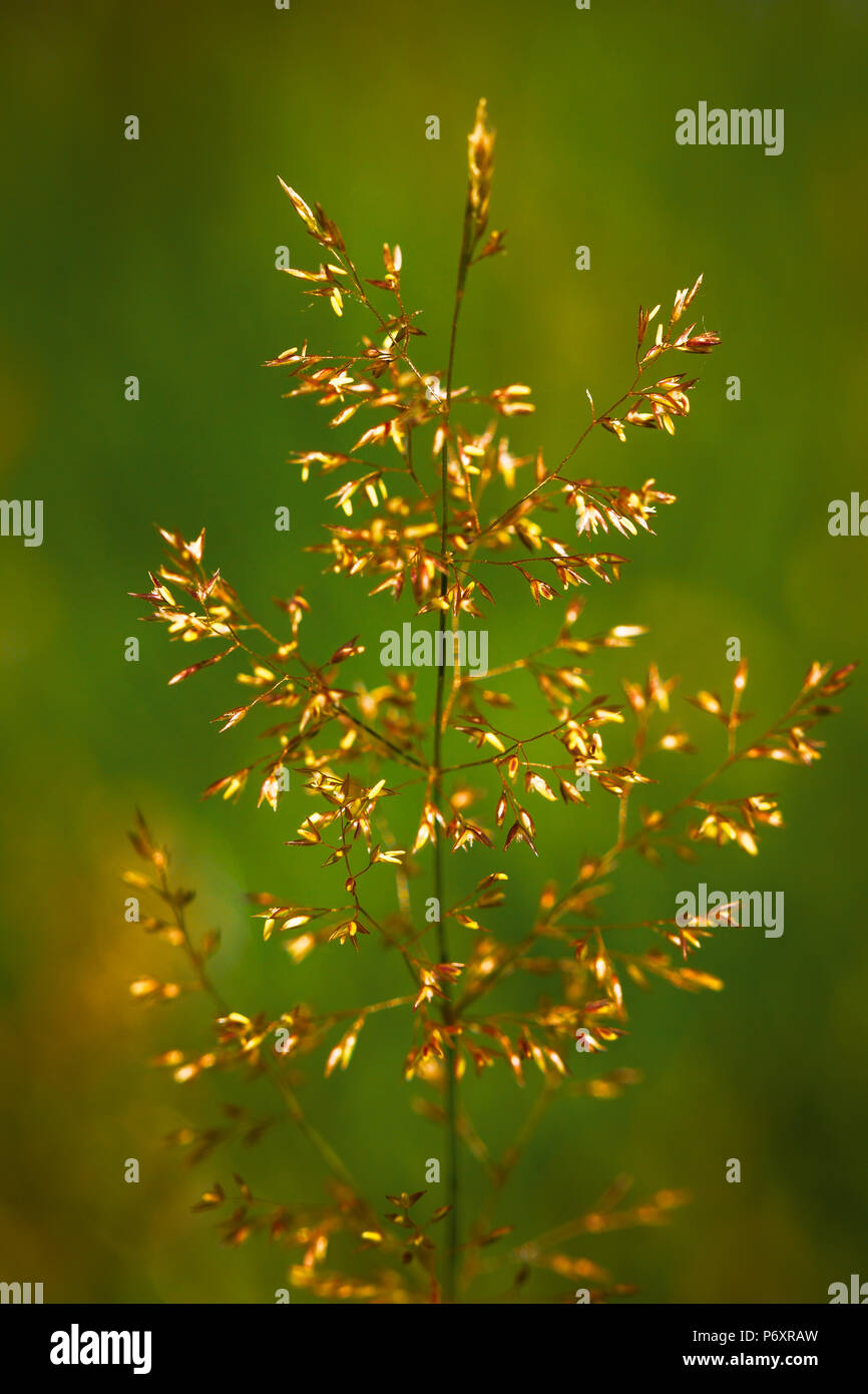 Summer grass seeds in an English meadow - Stock Image